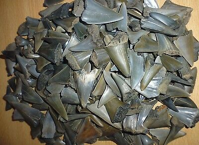 Lot of 15 MAKO FOSSIL SHARK TEETH,from BELGIUM.. MEGALODON ERA.