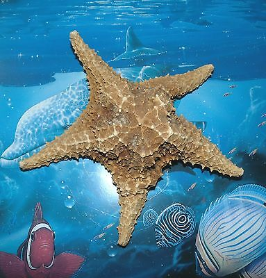 "7"" CARIBBEAN STARFISH SEA SHELL  BEACH DECOR  TROPICAL REEF CRAFTS GRADE B"