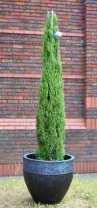 Italian Cypress Trees Cupressus Sempervirens Totem Tall Ornamental ...