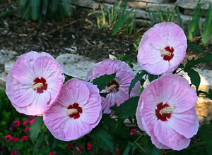 Hardy Hibiscus Seeds Tie Dye New Winter Hardy Theseedhouse