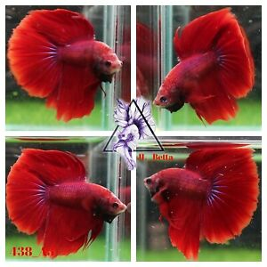 [438_A3]Live Betta Fish High Quality Male Fancy Over Halfmoon 📸Video Included📸