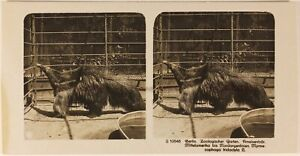 Germania Berlino Zoo c1905 Foto Stereo Vintage Analogica n5