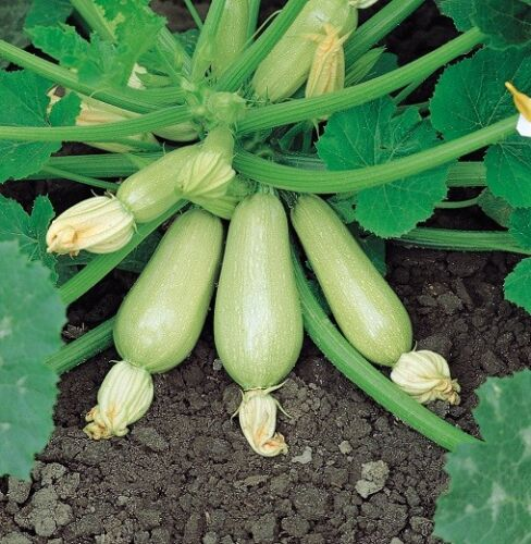 (295) 'KINGS' QUALITY courgette clarion f1 - seeds ...