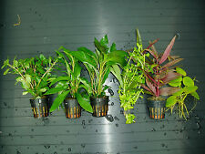 Plantas de acuario. LOTE 6 TIPOS B. ENVIO 24/48H.