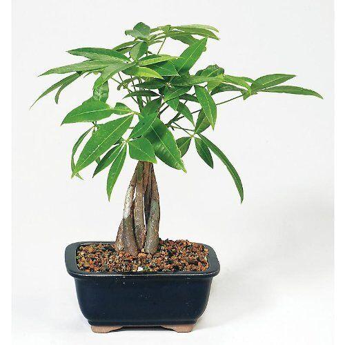 Live 10 12 Money Tree Bonsai Por Decorative Indoor House Plants For Online Ebay
