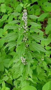 Motherwort-Leonurus-Cardiaca-50-seeds
