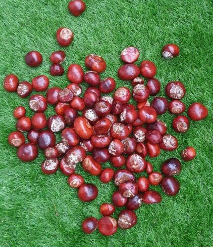 Tierfutter 5 Kg Rosskastanien Samen oder zum Basteln 300-400 stk Ernte 2020