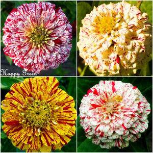 ZINNIA-DAHLIA-PEPPERMINT-STICK-340-SEEDS-Zinnia-elegans-Pumila-flowered