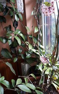 Hoya-Wachsblume-Porzellanblume-Zimmerpflanze-Ableger-5-Stueck-unbewurzelt