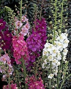 100 Seeds Verbascum Hybrid Mix BOGO 50/% off SALE