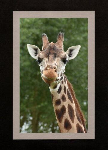 WILD ANIMAL LOVER PHOTO GIRAFFE BLANK GREETING CARD BIRTHDAY, THANK YOU ETC