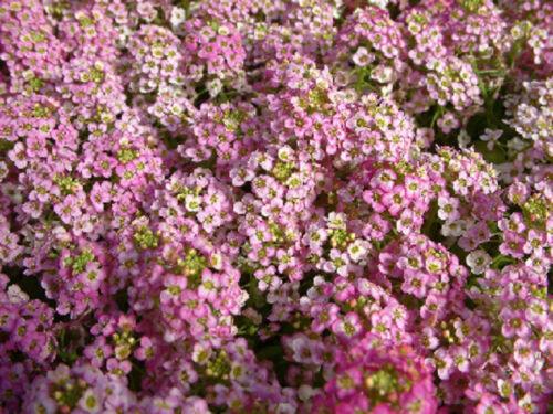 100 Alyssum Seeds Cheers Pink Ground Cover
