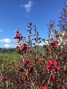 Manuka Neuseelandmyrte Südseemyrte 500 echte Leptospermum scoparium Samen