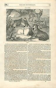 Les-Lynx-Chat-sauvage-Mammifere-GRAVURE-ANTIQUE-OLD-PRINT-1835