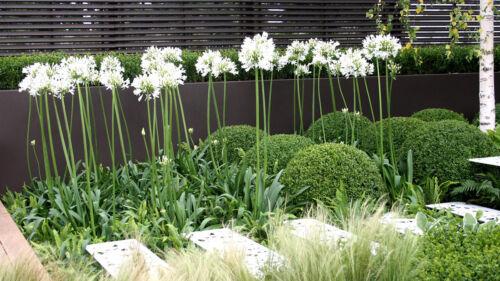 20 Agapanthus blanc graines de fleurs//LILY OF THE NILE//vivace Cerf Résistant