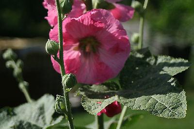 Stockrosen- mehrjährig- rosa Blüten bis 2,20m hoch, 20 Samen