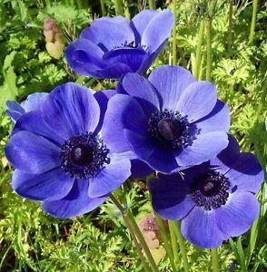 anemone de caen mr fokker 15 bulbs spring summer flowering ready to dispatch ebay. Black Bedroom Furniture Sets. Home Design Ideas