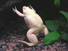 White Albino African Clawed Water Frog Xenopus laevis aquarium USA FREE SHIPPING