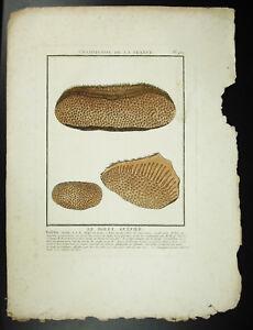 Engraving-Bolete-Bee-Eater-Stone-Bulliard-1780-Mushroom-de-France-Mushroom-Print