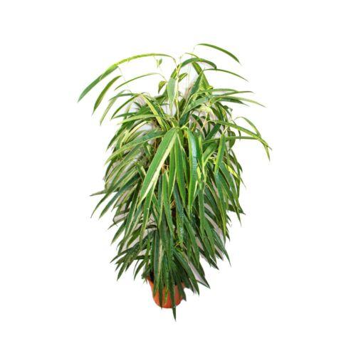 """langblättrige Bouleaux lâchement-roi Pilier Ficus binendijkii /""""ALII/"""" 17 cm pot"""