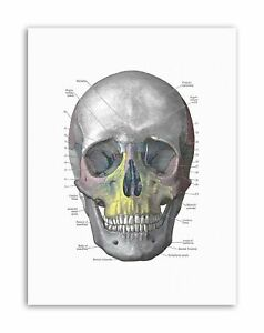 image is loading diagram-human-skull-bone-anatomy-painting-drawing-canvas-