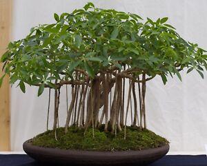 Zimmerpflanze-Bonsai-i-STRAHLEN-ARALIE-i-Wintergarten-Balkon-Terrasse-Exot