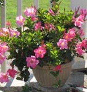Guinevere Dipladenia Sanderii Bright Pink Trumpet Flowers Plant In