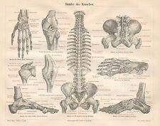 B6446 Legamenti dell'Uomo - Incisione antica 1890 - Engraving