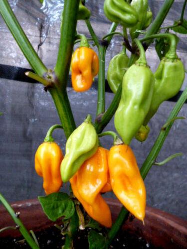 10+ Chili Naga Bhut Jolokia  GELB -HÖLLISCH SCHARF- 15 Samen