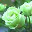 Semillas-rosas-disponible-en-9-tonos-diferentes-10-20-o-30-semillas miniatura 6