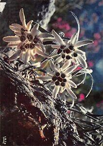 BR50065-Flore-de-montagne-edelweiss-fleurs-flowers