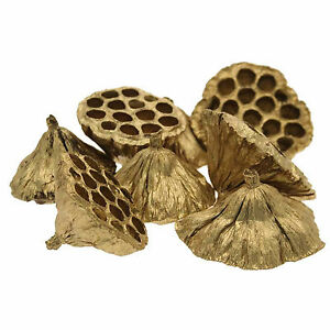 Lotus-Heads-Dried-Gold-5-7cm-Diameter-Pack-of-20