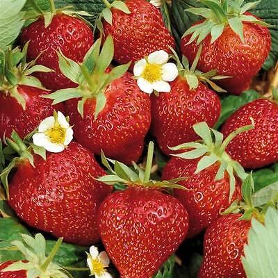 New Pack 3 Strawberry 'Ostara' W.C.Prins Vegetable Garden Runners / Roots