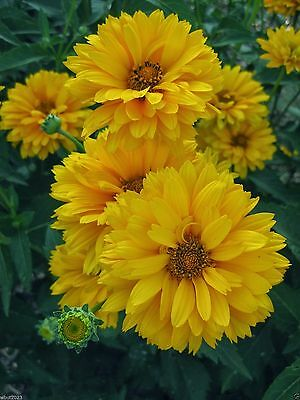 SUNFLOWERS Seeds (Heliopsis - Summer Sun) Heirloom Organic, Annual,Flowers,