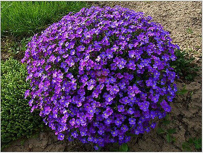 40 Seeds Of Each Pack Violet Queen Seeds Aubrieta Cultorum Flower Seed A163 Hot
