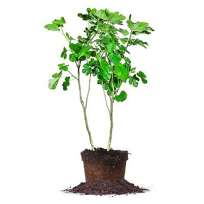 Brown Turkey Fig Tree, Live Plant, Size: 5 Gallon