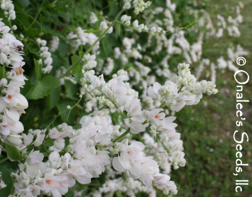 18 Bees and butterflies LOVE RARE WHITE ALBA Coral Vine Seeds VIGOROUS BLOOMER