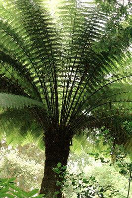 Dicksonia antarctica - Smooth Tree Fern Plug plant