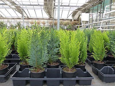 Premium winterharter Koniferen-Mix Zypresse Heckenpflanze Konifere Thuja