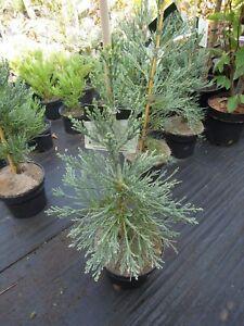 Sequoiadendron-giganteum-glaucum-blauer-Mammutbaum-80-90cm-Bergmammutbaum