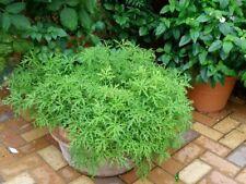 400Pcs Citronella Plant Seeds Mozzie Buster Garden Mosquito Repellent Spirited