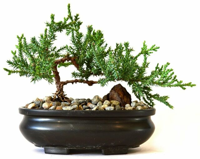 Ponderosa Pine Tree Live Plant Pinus Ponderosa 3 7 Inches Best Gift Garden Yard For Sale Online Ebay