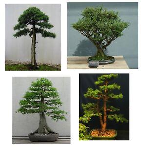Bonsai-Samen-i-SET-aus-4-Sorten-i-Zimmerpflanze-Saatgut-Samen-Terrasse-Balkon