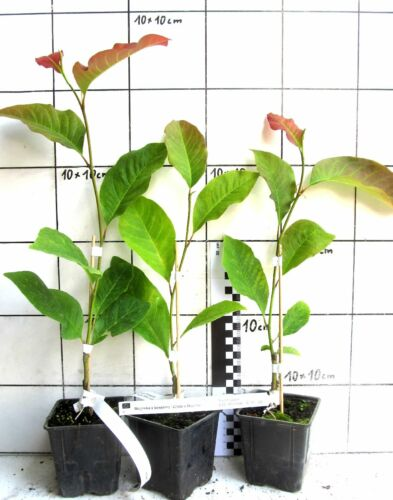 "seltene Magnolienhybride weiß duftende Blüten Magnolia x hybr /""Wada`s Memory/"""