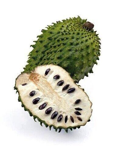 SOURSOP Tropical Fruit Tree 2-3 Feet High Annona Muricata
