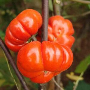 50 Stück selten süße Tomate Obst Samen Home Gemüsegarten Pflanzensamen GUT