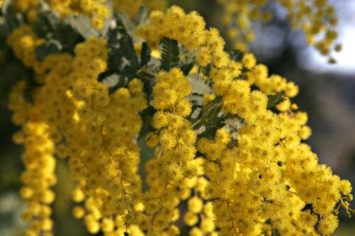 25 Golden Mimosa Yellow Wattle Tree 10 or 50 Seed Acacia Baileyana Seeds