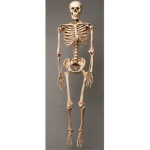 Skeletons-and-More-SM100DA-Aged-2nd-Class-Life-Size-Harvey-in-Skeleton