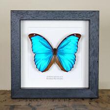 Menelaus Blue Morpho Butterfly in Box Frame (Morpho Menelaus)