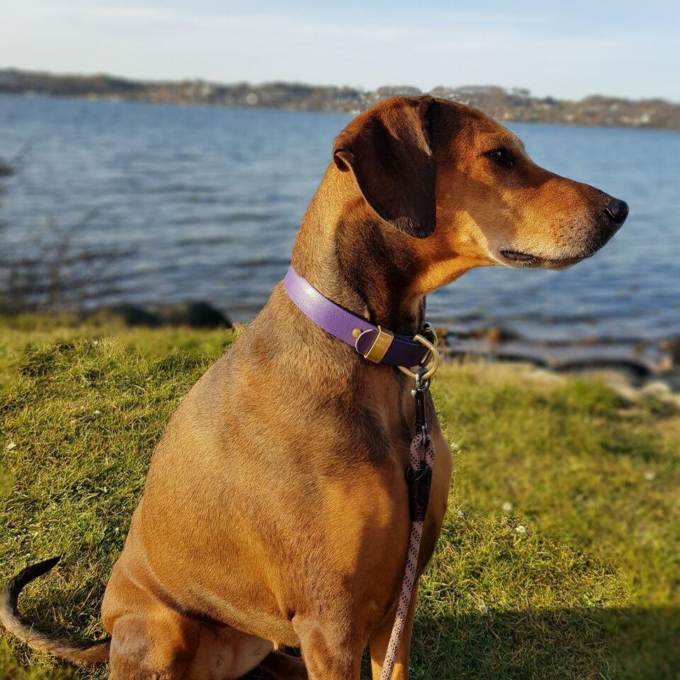 Labrador/dobermann, hvalpe, 1 uge